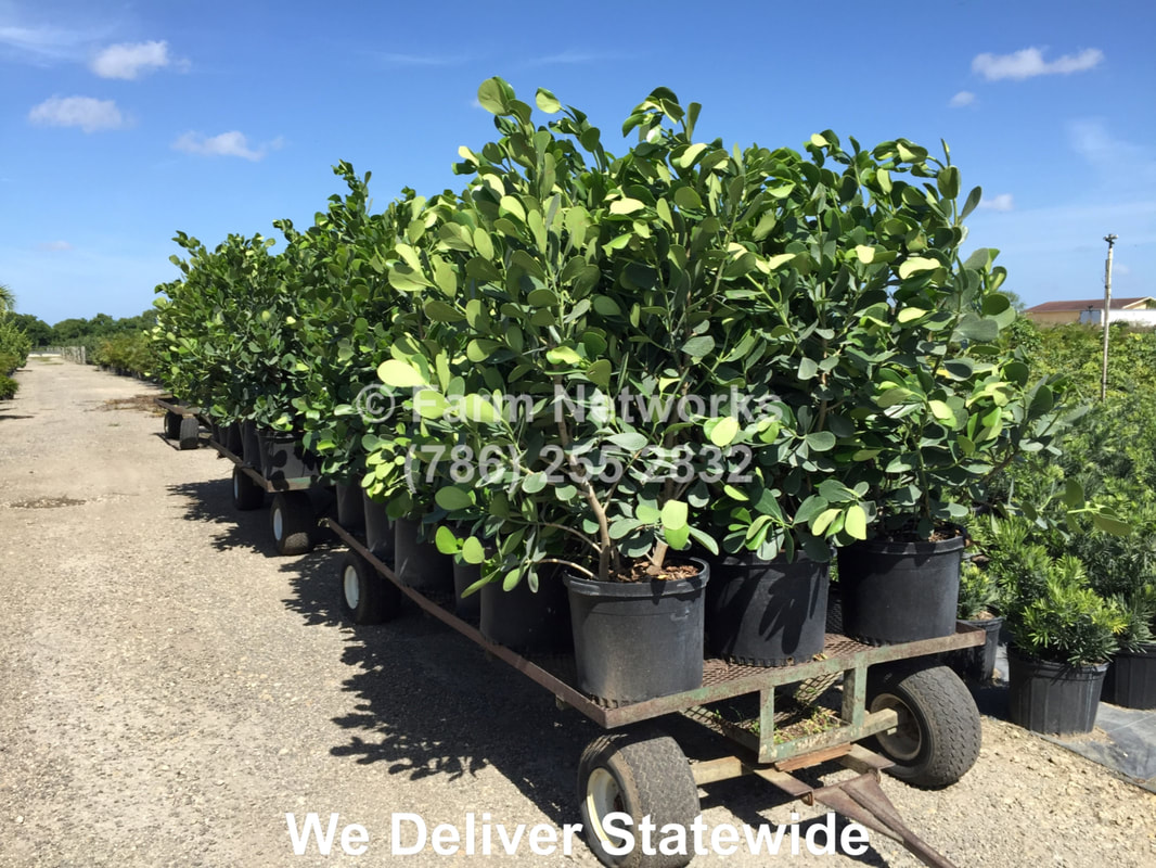 South Florida Plant Nursery Clusia We Deliver 786 255 2832